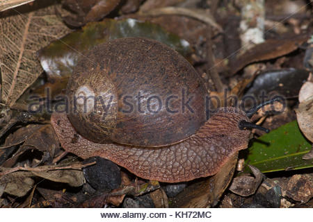 Giant Panda Snail (Hedleyella falconer) foraging in the southern Queensland rainforest in Australia. - Stock Photo
