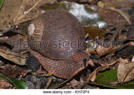 Giant Panda Snail (Hedleyella falconer) foraging in the rainforest in southern Queensland, Australia. - Stock Photo
