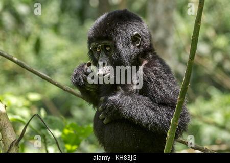 Infant Mountain eastern gorilla (Gorilla beringei beringei).Mimicking adult by beating his chest, 'Bwindi Impenetrable - Stock Photo