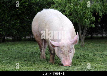 Front view photo of a big pig when sunbathing on animal farm outdoors - Stock Photo