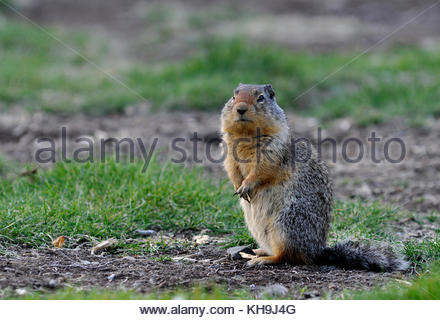 Columbian ground squirrel found, small animal found at Manning Provincial Park, British Columbia, Canada, - Stock Photo