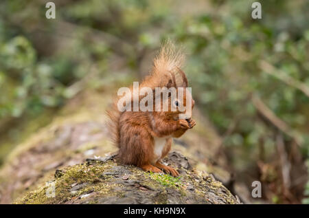 Red Squirrel on a log in a forest eating nuts - Stock Photo