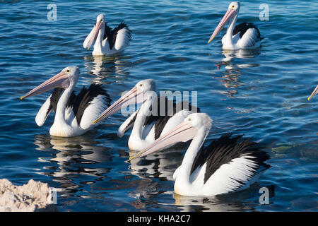 A group of pelicans in Emu Bay, Kangaroo Island in South Australia. - Stock Photo