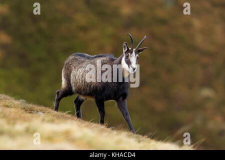 Chamois (Rupicapra rupicapra), goat in winter dress, Vosges, Alsace, Lorraine, France - Stock Photo
