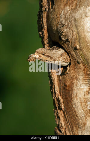 Wryneck ( Jynx torquilla ) emerging from nest hole, carrying, removing a faecal sac, cleaning its nest, typical - Stock Photo