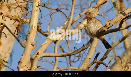 Female figbird (Sphecotheres vieilloti flaviventris) camouflaged among the branches, Sheriff Park, Ross River, Townsville, - Stock Photo