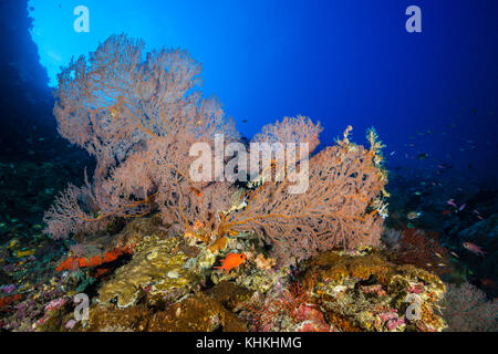 Coral Reef of Sea Fans, Gorgonaria, Christmas Island, Australia - Stock Photo