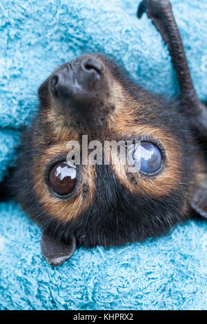 Spectacled Flying-fox (pteropus conspicillatus): adult female with cataract in right eye. Tolga Bat Hsopital. Carrington. - Stock Photo