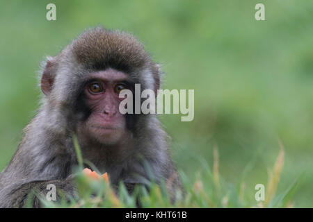 snow monkeys, Japanese macaque, Macaca fuscata, captive, young, old, close up portraits alone and in family group - Stock Photo