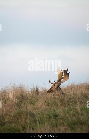A buck Fallow Deer ( Dama dama, Cervidae) sitting in the grass during the rutting season. - Stock Photo