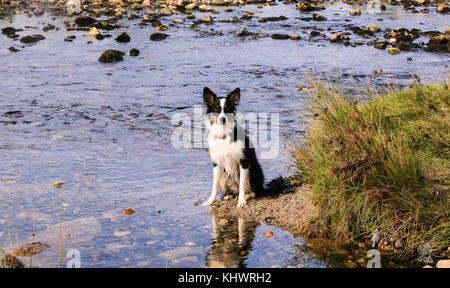 Border Collie dog  Playing in River on Moorland - Stock Photo