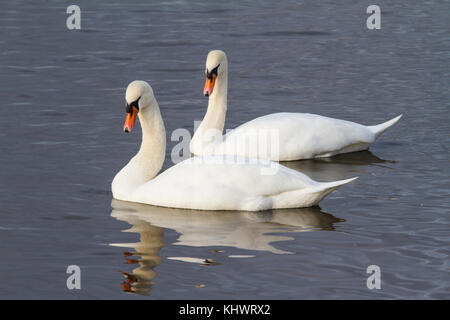 A pair of Mute Swans (Cygnus olor) swimming gracefully together on a pool in autumn. - Stock Photo