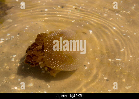 Brown Jellyfish (Phyllorhiza punctata) with  dinoflagellate alga underneath  swimming in  Swan River Perth  Western - Stock Photo