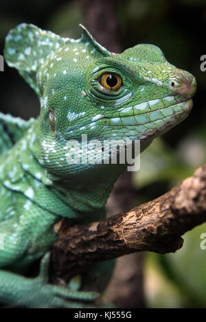 Green Plumed Helmeted Basilisk Lizard - Stock Photo