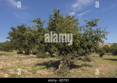 Argan, Argania spinosa, tree in fruit (from which the oil is made). South Morocco. - Stock Photo