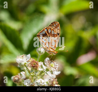 Queen of Spain Fritillary butterfly issoria lathonia basking in the sunshine at Riaza in central Spain showing its - Stock Photo
