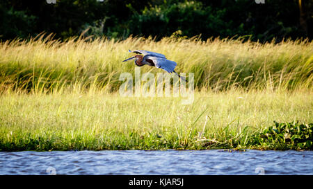 A marabou stork gliding down the shore of the Nile during a sunset cruise in Murchison Falls national park in Uganda. - Stock Photo