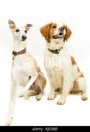 Whippet & Brittany Spaniel Dogs on White Background - Stock Photo