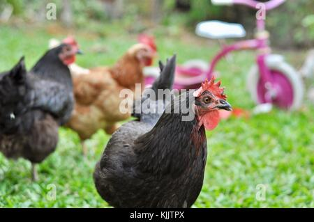 Domestic chickens in a suburban backyard, Sustainable living, Townsville, Queensland, Australia - Stock Photo