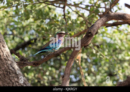 Serengeti National Park. A lilac-breasted roller (Coracias caudatus).  Tanzania. - Stock Photo