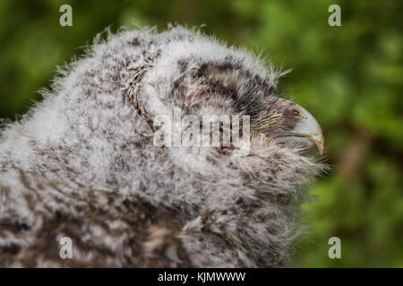 Tawny Owl, Strix aluco, young bird, newly came out of the bird box. Close up of the head from the side, green soft - Stock Photo
