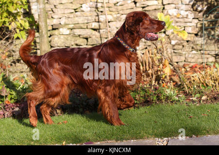 Setter - Irish Red Irish Setter Irish Red Setter - Stock Photo