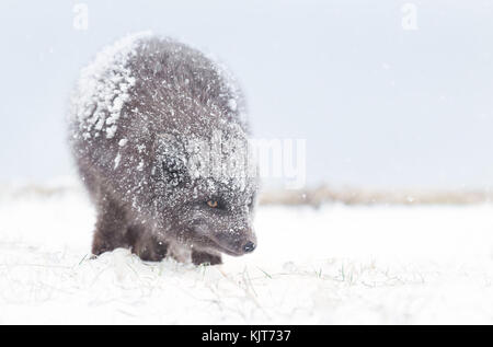 Blue Morph Arctic fox standing in the falling snow' winter in Iceland. - Stock Photo