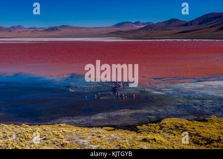 Photo taken in August 2017 in Altiplano Bolivia, South America: Pink Flamingos at Laguna Colorada Altiplano Bolivia - Stock Photo