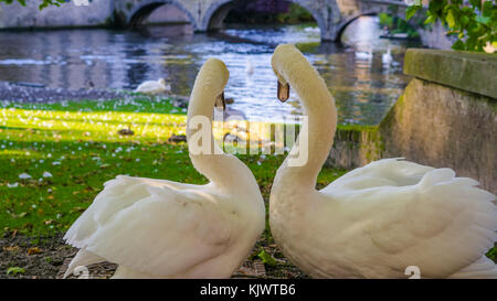 Belgium, Brugge, Begijnhof Couple swans on the shore, looking towards the water, to the Minnehof VOF - Stock Photo