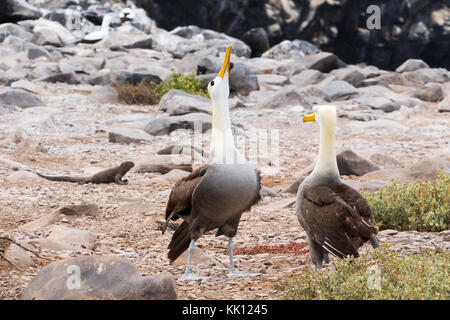 Galapagos Albatross, or Waved Albatross, ( Phoebastria irrorata ),pair courting; Espanola Island, Galapagos Islands - Stock Photo