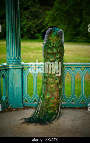 Peacock of the Park of Bagatelle of the wood of Boulogne La Belle Epoque -  13/06/2011  -    -  Peacock of the Park - Stock Photo