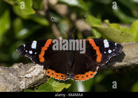Red Admiral (Vanessa atalanta) butterfly resting on a branch - Stock Photo