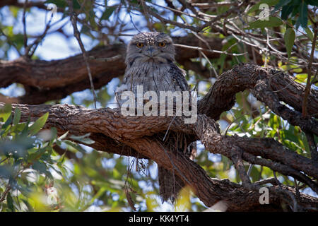 Tawny frogmouth ssp strigoides sitting on nest with chicks in NSW Australia - Stock Photo