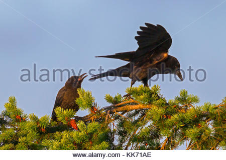An American crow (Corvus brachyrhynchos) calls at another one that has landed on its perch at the top of a Douglas - Stock Photo