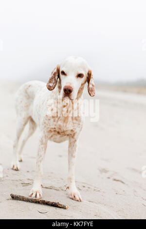 Breege, Germany, a dog on the beach of Breege on Ruegen - Stock Photo