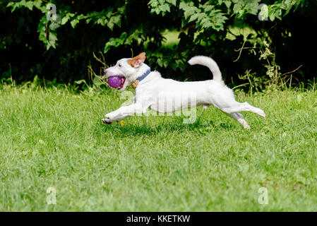 Side view of dog running on green grass playing with purple ball - Stock Photo