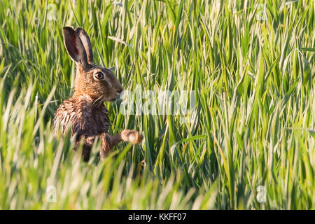 Wild hare having a morning wash in the warmth of the sunrise. Norfolk in the UK has a lot of hares in spring but - Stock Photo