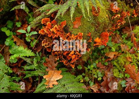 Hairy Stereum fungus Stereum hirsutum growing on old dead oak tree, among moss and ferns, Dartmoor, Devon, UK, December - Stock Photo