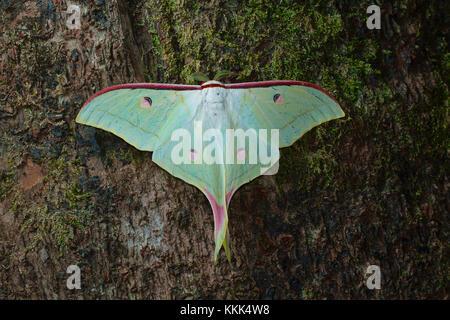 Lunar or Moon moth from Kanger Ghati National Park, Bastar District, Chhattisgarh - Stock Photo