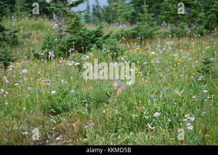 Columbian Ground Squirrel in Wildflowers, Logan Pass, Glacier National Park - Stock Photo