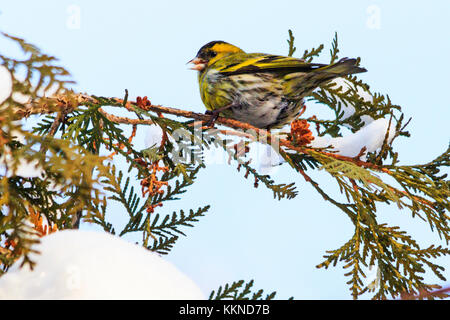 siskin sits on a snowy branch in winter - Stock Photo