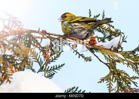 siskin sits on a snowy branch in winter with sunny hotspot - Stock Photo