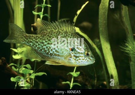 Sonnenbarsch, Sonnen-Barsch, Kürbiskernbarsch, Lepomis gibbosus, pumpkinseed sunfish, pumpkinseed-sunfish - Stock Photo