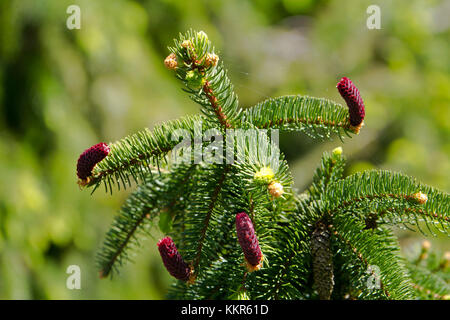 young fir cones of the common spruce, Picea abies, Kolbermoor, Bavaria, Germany - Stock Photo