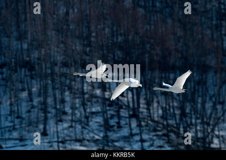 Whooper swan (Cygnus cygnus) group flying, Japan - Stock Photo