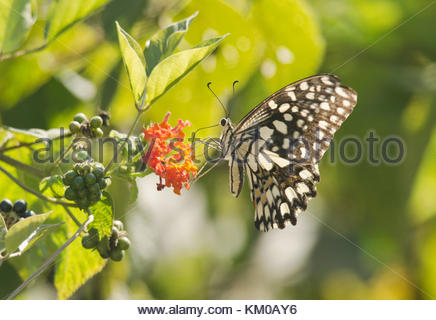 Lime Butterfly - Stock Photo