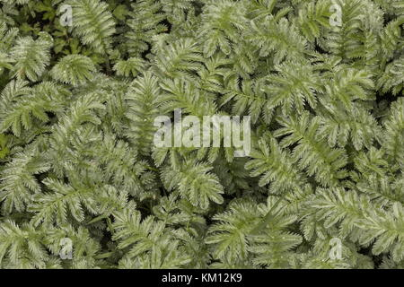 Leaves of Silverweed, Potentilla anserina, in damp grazed pasture. - Stock Photo