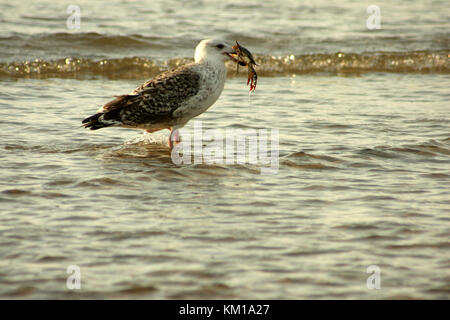 Gull with just-caught crab on the Atlantic shore, USA - Stock Photo