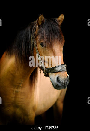 Brown horse portrait on black background - Stock Photo