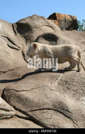 Lion Park, White lion cub climbing a rock, Panthera leo krugeri - Stock Photo